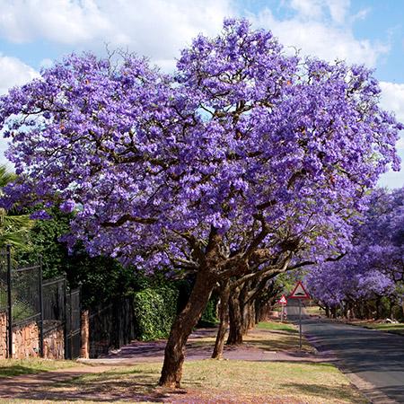 شجرة الجاكرندا F15467852041701591513