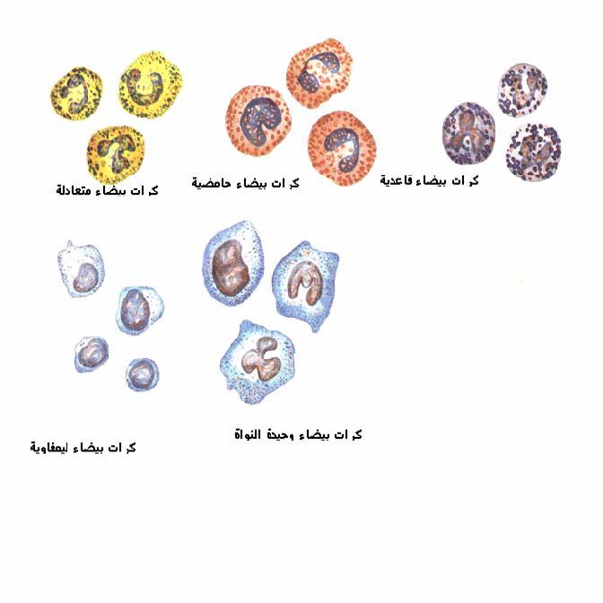 الجهاز الدوري في الدجاج Circulatory System